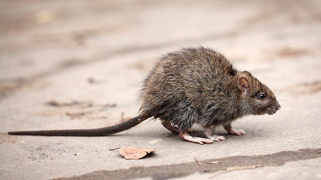 Kommt Eine Rattenplage Auf Uns Zu Ndr De Nachrichten Schleswig Holstein