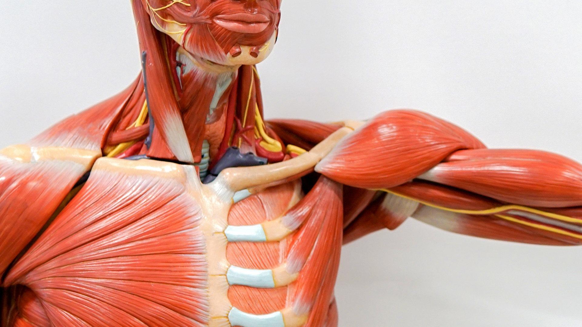 Muskel oberarm knubbel am Lipom: Wie