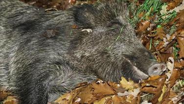 Totes Wildschwein. | Screenshot NDR