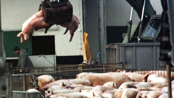 Mit einem Bagger werden getötete Schweine 1998 auf dem abgesperrten Gelände des Schweinezuchtbetriebes Gut Losten (Mecklenburg-Vorpommern) in Transportcontainer verladen. © picture-alliance / dpa Foto: Jens Büttner