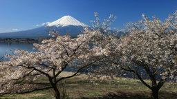Der schneebedeckte Vulkan Fuji in Japan, im Vordergrund blühende Kirschbäume © picture alliance/prisma Foto: Blum Bruno