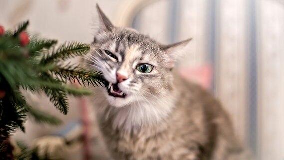 Katze knabbert an einem Tannenzweig der Adventsdekoration © Photocase.com Foto: oxygen260
