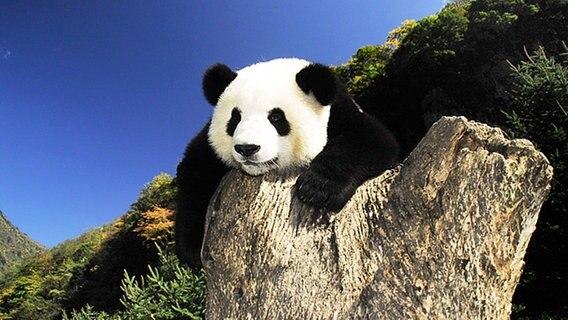 Riesenpanda Wei Wei © picture-alliance/ dpa Foto: Imaginechina Li wei sc