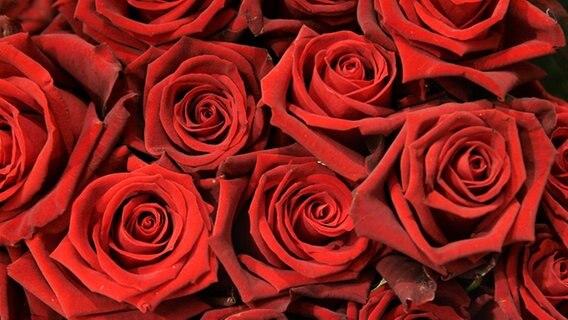 Blühende rote Rosen © picture-alliance/ dpa Fotograf: Sebastian Widmann