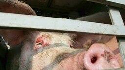 Schwein auf einem Lkw © dpa Fotograf: Peter Steffen