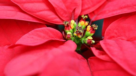 weihnachtsstern pflegen und zum bl hen bringen ratgeber garten zimmerpflanzen. Black Bedroom Furniture Sets. Home Design Ideas