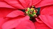weihnachtssterne pflegen und zum bl hen bringen ratgeber garten zimmerpflanzen. Black Bedroom Furniture Sets. Home Design Ideas