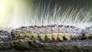 Kita schließt wegen des Eichenprozessionsspinners