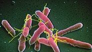 Bakterium Escherichia Coli © dpa/Picture-Alliance Foto: Manfred P. Kage