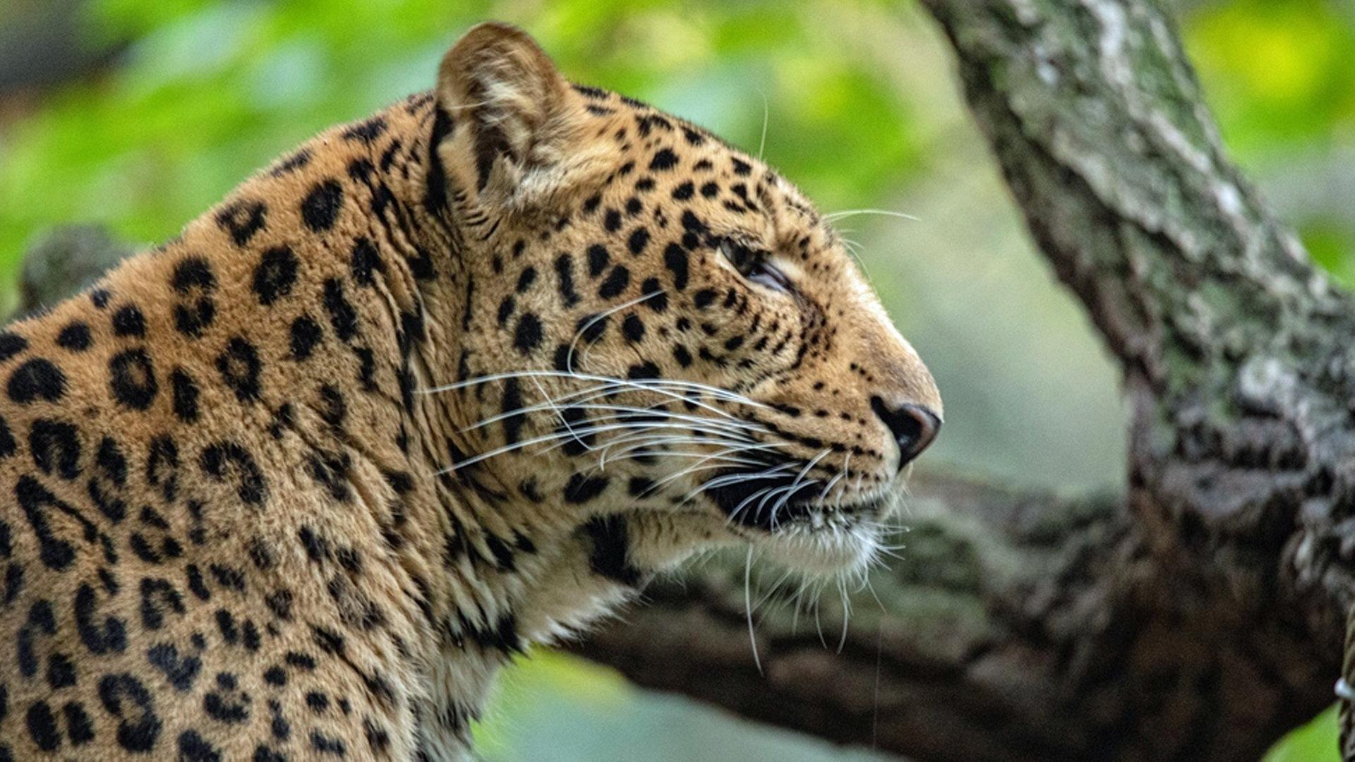 Tierpark Hagenbeck Seltene Leoparden aus Südkorea   NDR.de ...