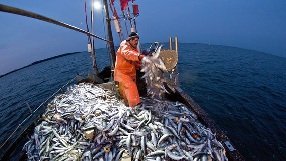 Two fishermen haul in gillnets with herring on board their cutter.  © dpa picture alliance Photo: Christian Charisius