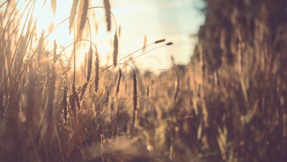 Weizenähren im Gegenlicht der tiefstehenden Sonne. © Photocase Foto: FloKu.