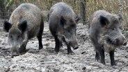 Schweinepest in Polen - Niedersachsen besorgt