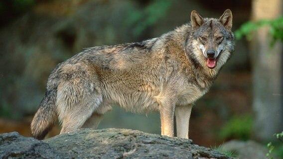 Jagd auf Rodewalder Wolf - Frist erneut verlängert