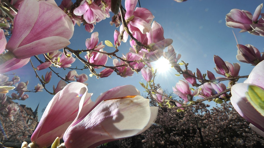 magnolien bringen bl tenpracht in den garten. Black Bedroom Furniture Sets. Home Design Ideas