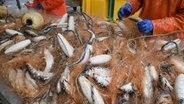 Fischer holen im Hafen von Freest gefangene Heringe aus dem Stellnetz. © dpa-Bildfunk Foto: Stefan Sauer