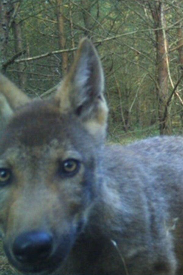 Wolfsnachwuchs in MV: Drei neue Rudel