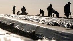 Erntehelfer stechen Spargel auf einem Feld.