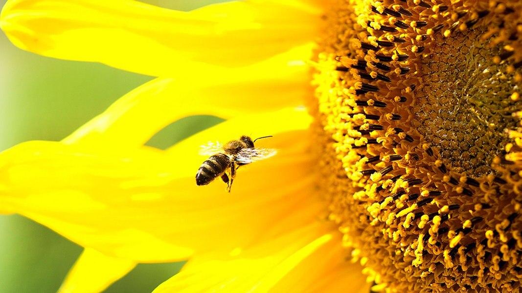 sonnenblumen und bl hstreifen f r die bienen nachrichten mecklenburg vorpommern. Black Bedroom Furniture Sets. Home Design Ideas