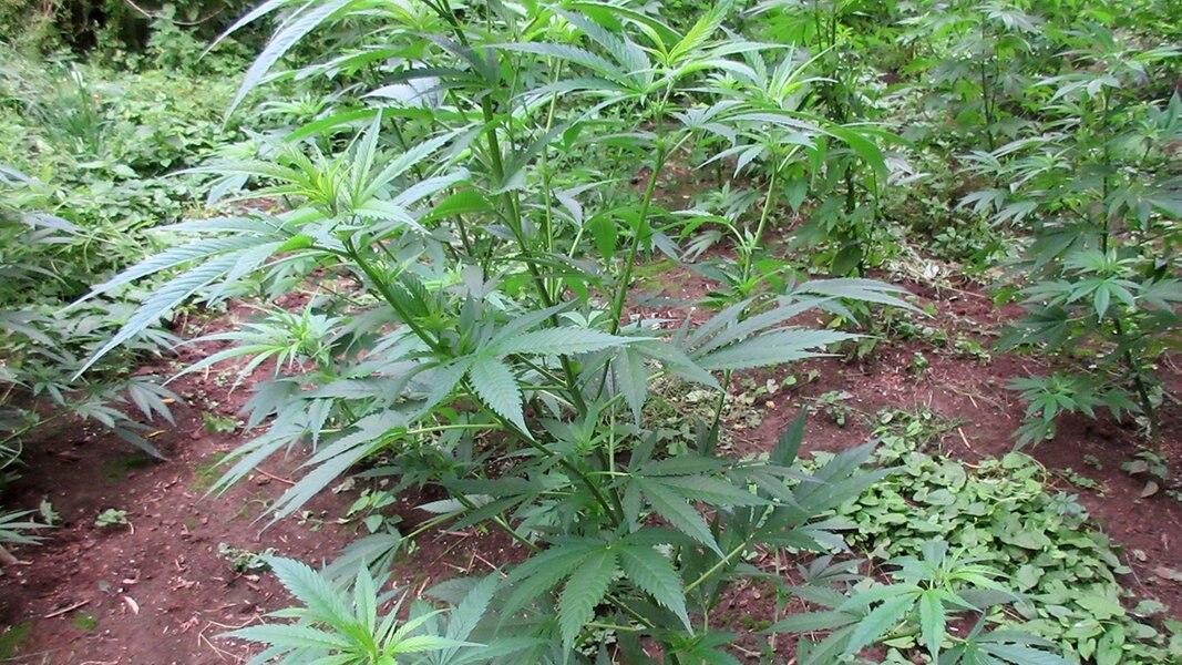 Polizei entdeckt Cannabis-Plantage am Weser-Ufer