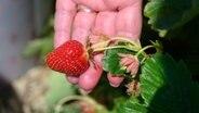 Erdbeeren und Spargel: Produzenten zufrieden