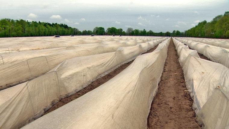 Plane bedeckt Spargel auf einem Feld. © NDR
