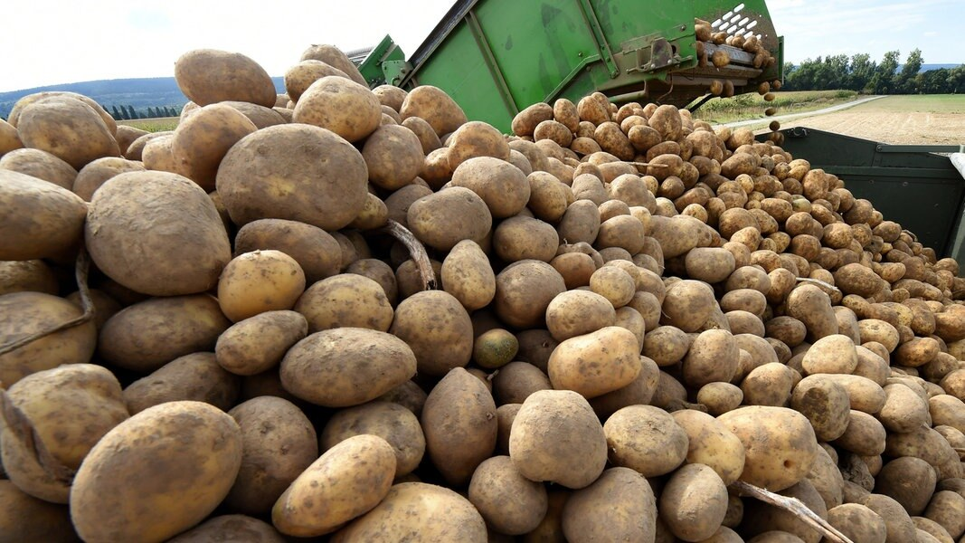 Landvolk erwartet mäßige Kartoffelernte