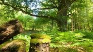 Moosbedeckte Baumstümpfe stehen in einem niedersächsischen Naturwald. © Niedersächsische Landesforsten