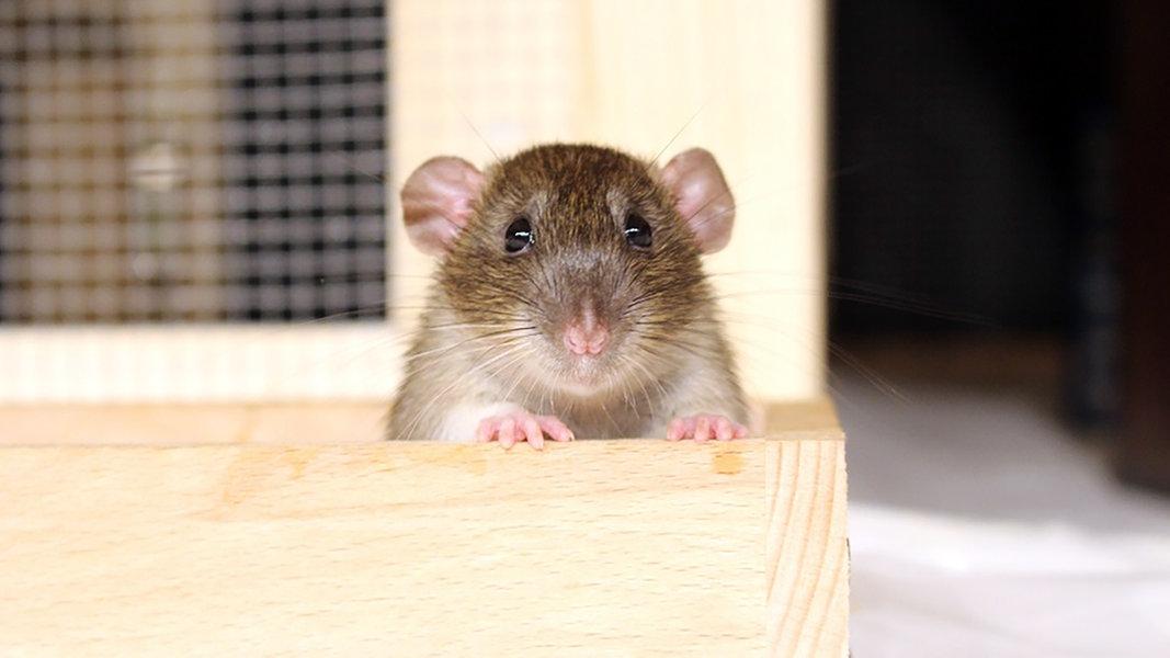 ratten vertreiben ratten vertreiben und bek mpfen tipps gegen ratten im haus with ratten. Black Bedroom Furniture Sets. Home Design Ideas