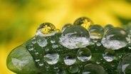 Regentropfen perlen auf dem Blatt vom Echten Salomonssiegel (Polygonatum odoratum) und zeigen weitere Blumen in einem Garten. © dpa-Bildfunk Foto: Julian Stratenschulte