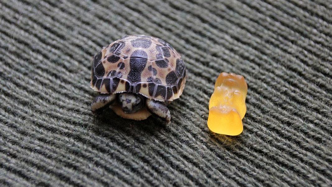 Mini-Schildkröte im Zoo Hannover geschlüpft