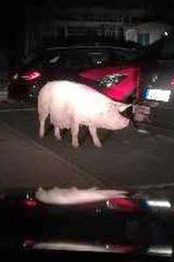 Schwein spaziert durch Nienhagen