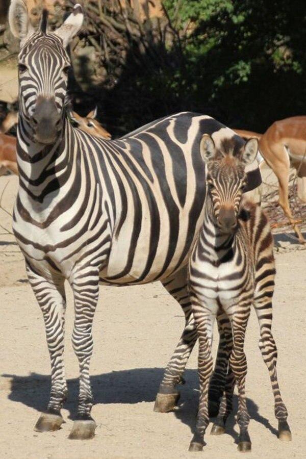 Doppelter Zebra-Nachwuchs im Zoo Hannover