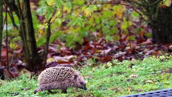 Igel Im Herbst Und Winter Schützen Ndrde Ratgeber Garten