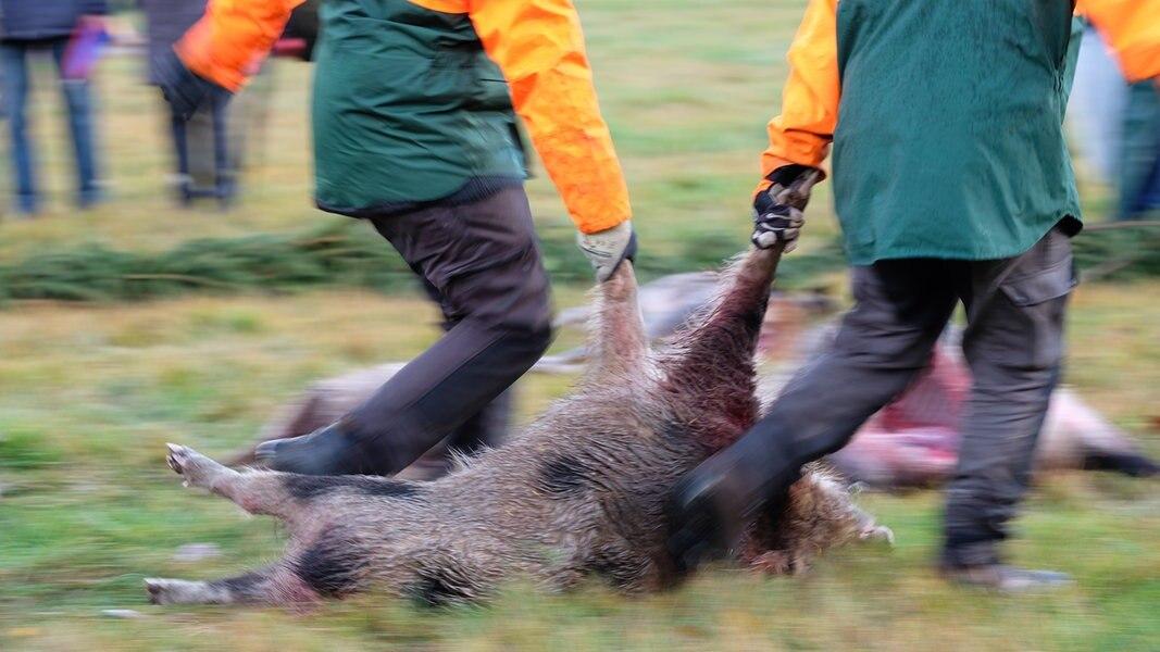 Schweinepest-Risiko: Land baut Pürzelprämie aus
