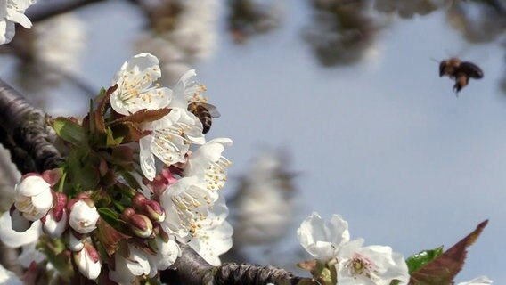 Bienen an Kirschblüten vor blauem Himmel. © TV Elbnews