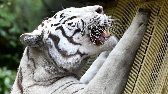 Den Atem Des Weißen Tigers Spüren Ndrde Ratgeber Reise