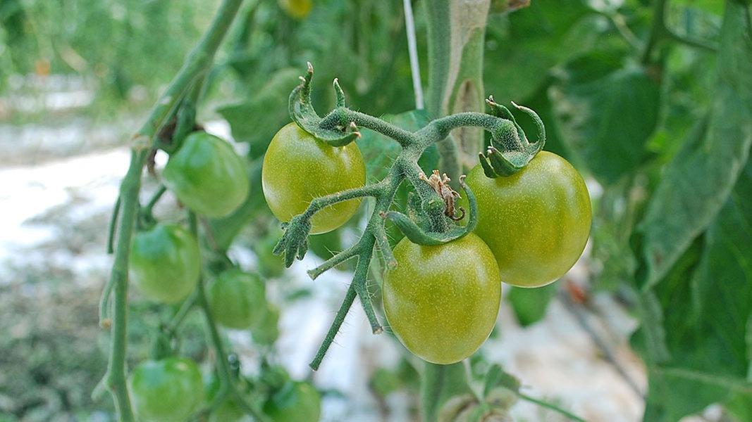 Etwas Neues genug Grüne Tomaten nachreifen lassen   NDR.de - Ratgeber - Garten @OW_18