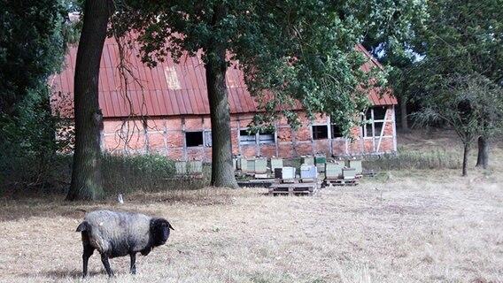 Ein Schaf steht vor einer Scheune. © NDR Fotograf: Vivian Münzel