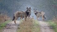 Zahlreiche Wölfe stehen auf einem Forstweg. © Robert de Mol Foto: Robert de Mol