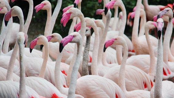 Flamingos im Weltvogelpark Walsrode © NDR Foto: Jessica Becker