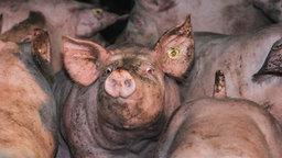 Zahlreiche Schweine stehen dicht beieinander. © picture-alliance Fotograf: J.S. Pfeifer