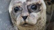 Ein Seehund blickt mit großen Augen in die Kamera. © NDR Foto: Oliver Gressieker