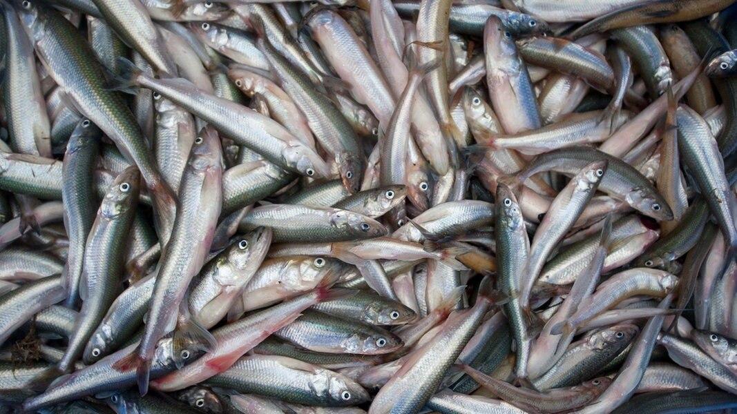 Cuxhaven: Elbfischer haben die Stint-Saison eröffnet