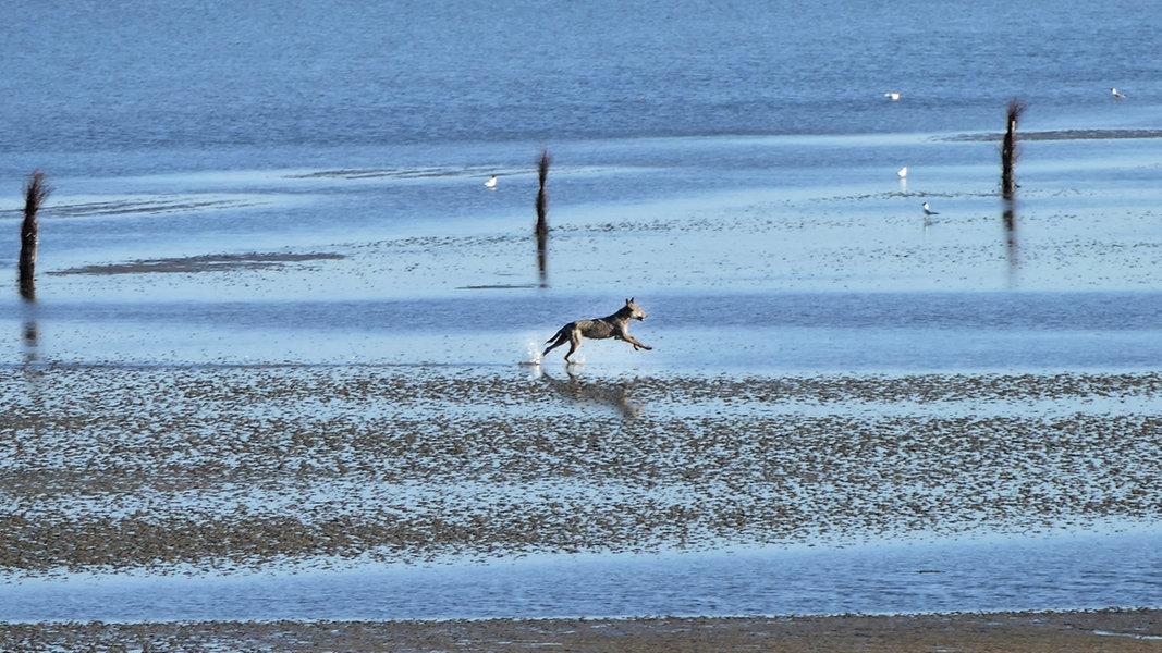 Wolf spaziert am Strand von Cuxhaven entlang