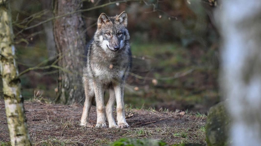 Jäger gegen Wolfsschützer: Waldsperrung erlaubt