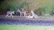Ein junges Wolfsrudel bei Gnarrenburg.