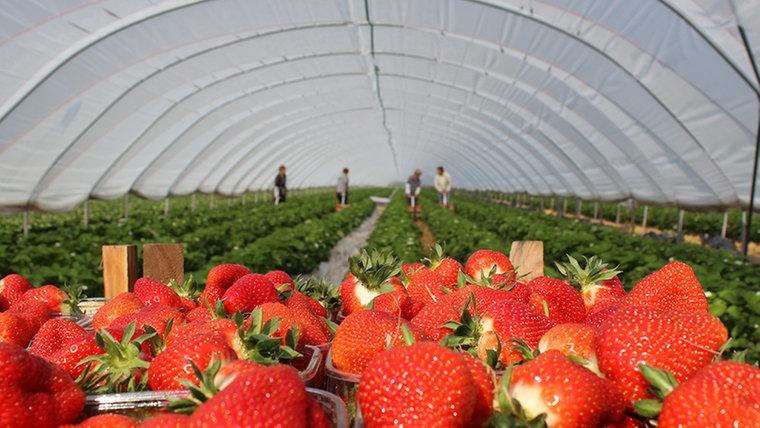 Erntehelferinnen pflücken Erdbeeren. © NDR Foto: Britta Nareyka