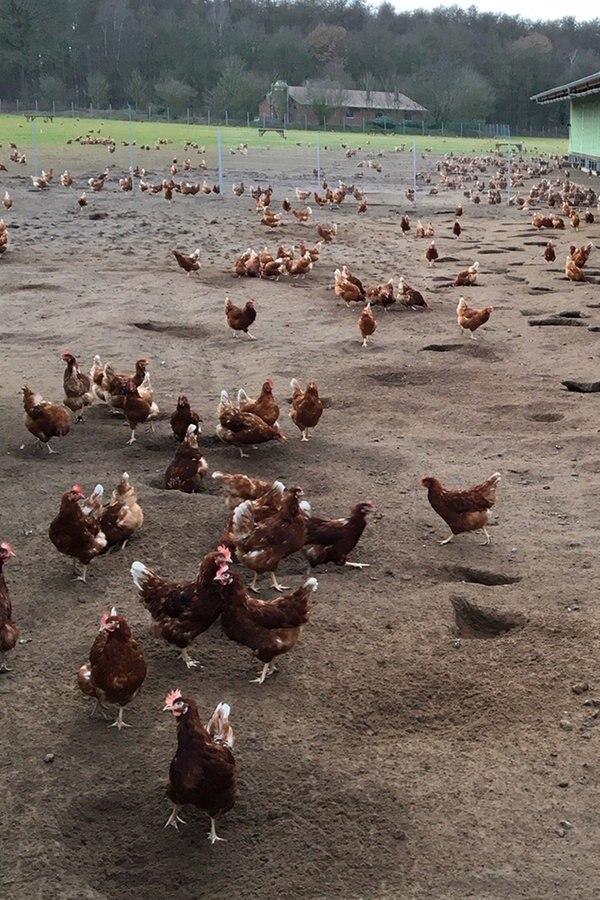 Eier statt Koteletts: Bauern setzen auf Legehennen