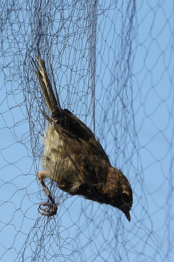 Illegaler Vogelfang mit Netzen am Flugplatz Melle